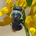 Greenish bee on Deerweed - Osmia