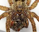 Trochosa sepulchralis - female