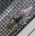 metallic beetle - Dicerca divaricata