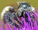 Bee - Bombus
