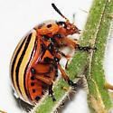 Colorado Potato Beetle - Leptinotarsa decemlineata