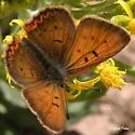 Purplish-Copper-Lycaena-helloides - Lycaena dorcas - male