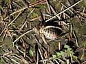 Katydid - Cyphoderris monstrosa - male
