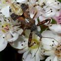 Reduviidae--possibly Sinea? - Sinea