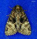 Spotted Phosphila???? - Phosphila turbulenta