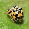 Twenty-Spotted Lady Beetle - Psyllobora vigintimaculata - male - female