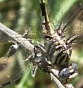 5-Striped Leaftail ? - Phyllogomphoides - female