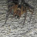 Spider :  I.D. help  - Eratigena agrestis - male