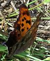 More shots of Question Mark - Polygonia interrogationis