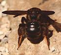 Brown bee July 11 - Dieunomia heteropoda