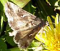 Brown and white moth, small S like pattern on wings - Autographa californica