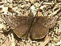 Unknown Butterfly - Erynnis