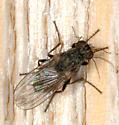 Small fly feeding on cecidomyiid midge, Edmonton, AB - Caricea