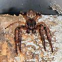 Unknown spider - Larinioides