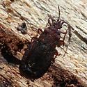flat bug (Aradid) - Aneurus fiskei