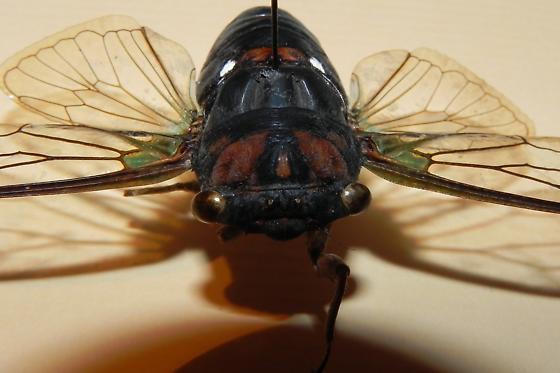 TX Cicada with grooves behind head? - Neotibicen tibicen