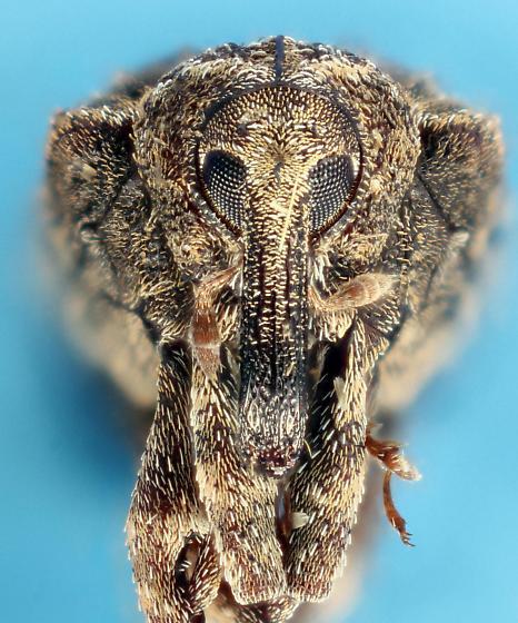 weevil #23 - Conotrachelus seniculus