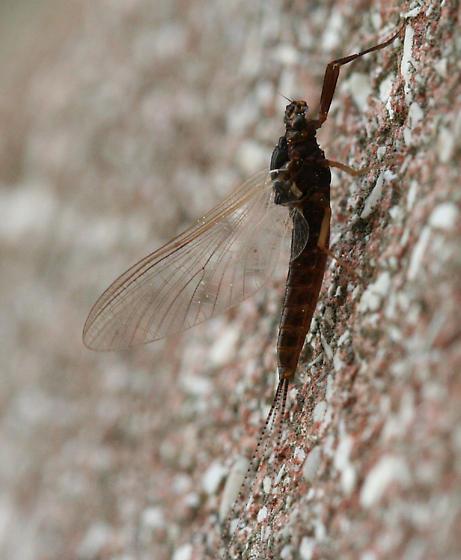 Mayfly - Leptophlebia - female