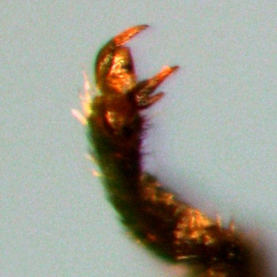 Melandryidae - Osphya varians
