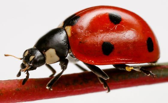 Seven-spotted Lady Beetle? - Coccinella septempunctata