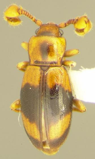 Phymaphora californica Horn - Phymaphora californica - male