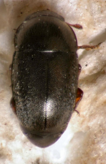 Another Kateretidae ? - Fabogethes nigrescens