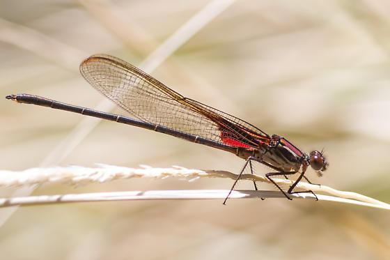 Canyon Rubyspot - Hetaerina vulnerata - male