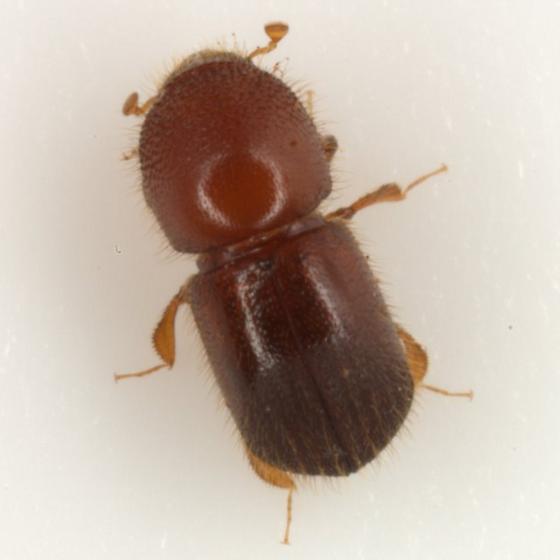Xylosandrus crassiusculus (Motschulsky) - Xylosandrus crassiusculus - female