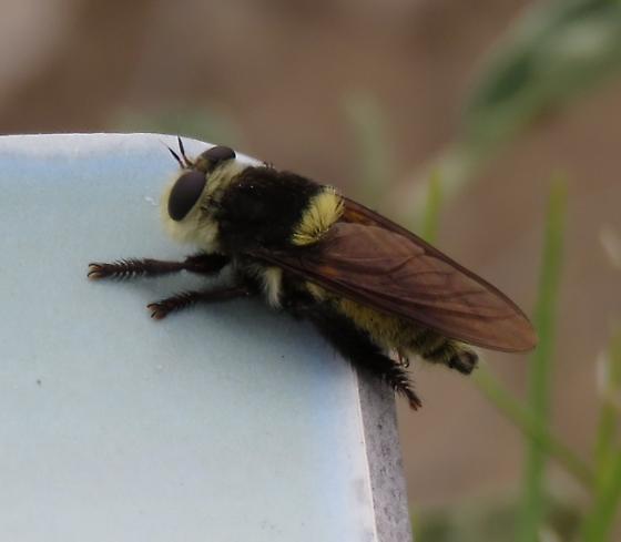 Bee type  - Mallophora fautrix - male
