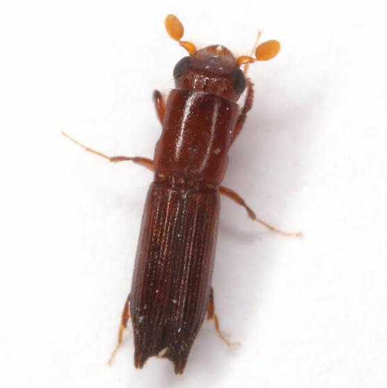 Euplatypus compositus (Say) - Euplatypus compositus - male