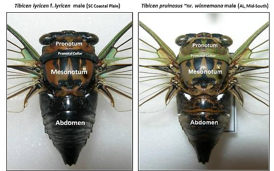 Tibicen characteristics - Neotibicen - male