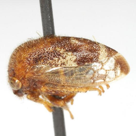 Vanduzea triguttata (Burmeister) - Vanduzea triguttata