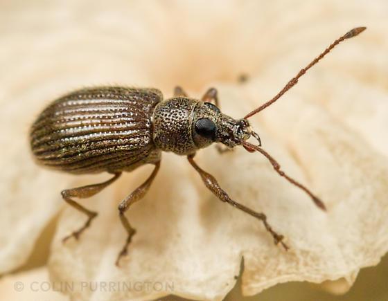 Weevil found on mushroom  - Cyrtepistomus castaneus
