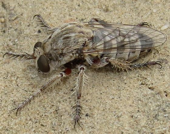 Robber fly - Hodophylax aridus - female