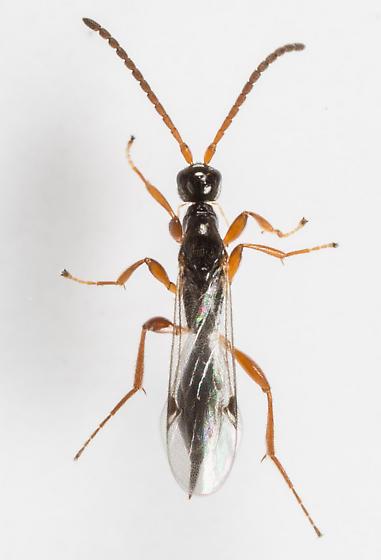 Wasp - Exallonyx - female