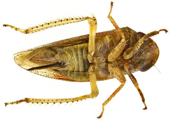 Female, Dragonana dracontea? - Dragonana dracontea - female