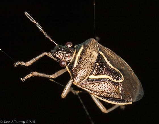 Brown Bug - Mormidea lugens