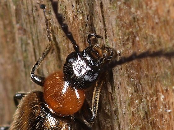Black headed, red and bronze fuzzy beetle. - Pedilus inconspicuus