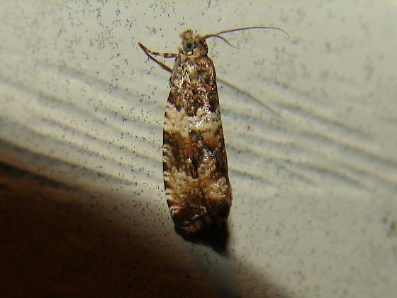 Tort moth - Olethreutes atrodentana