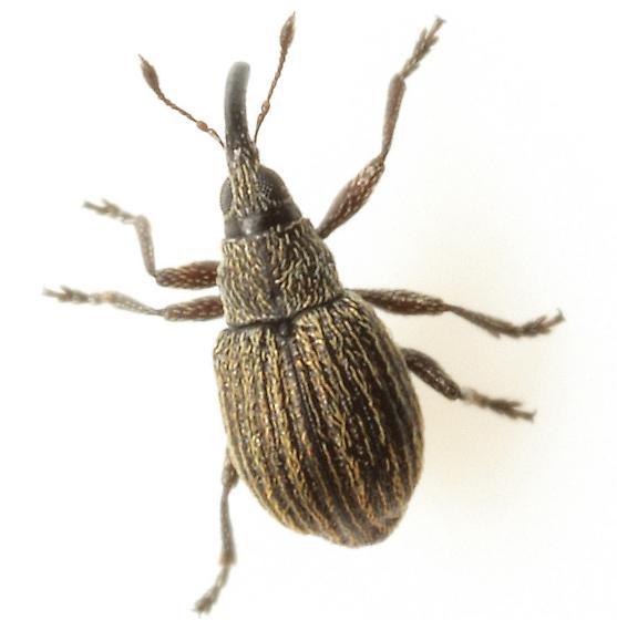 Coelocephalapion aculeatum (Fall) - Coelocephalapion aculeatum