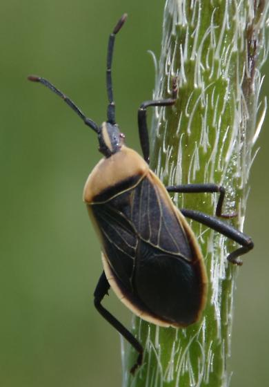 Poppy Field Bug - Chelinidea vittiger