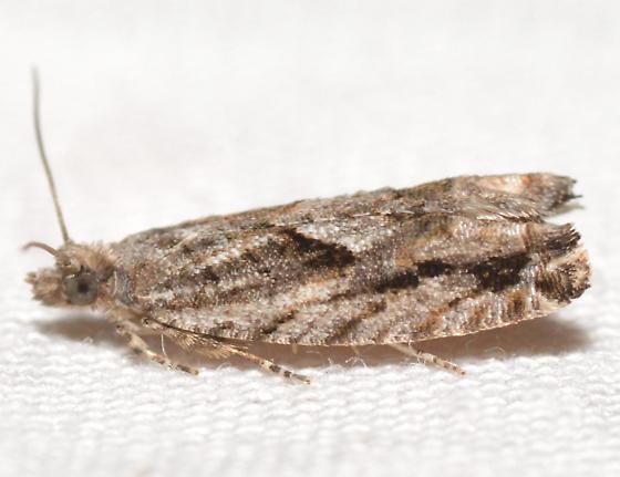 Chimoptesis