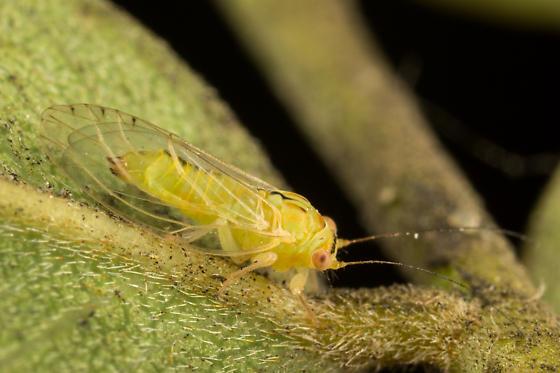 Locust Psyllid - Platycorypha nigrivirga - female