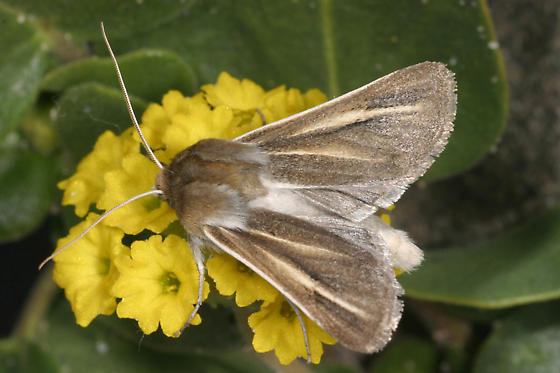 Copablepharon fuscum