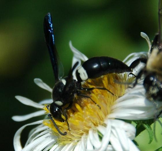 Monobia quadridens - Mason Wasp - Monobia quadridens