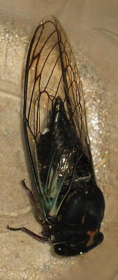 What type of cicada is this? - Neotibicen lyricen
