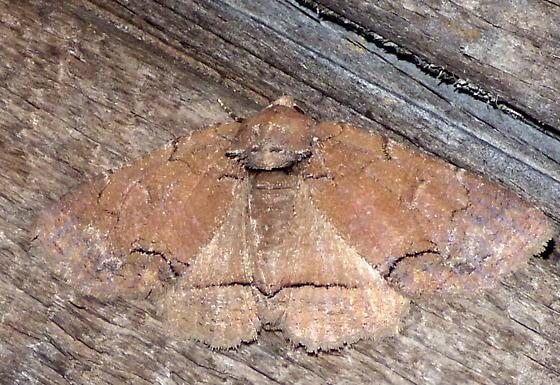 5/23/18 moth 2 - Zale unilineata