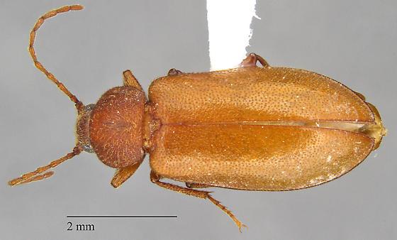 Tenebrionidae: Alaephus sp.? - Alaephus