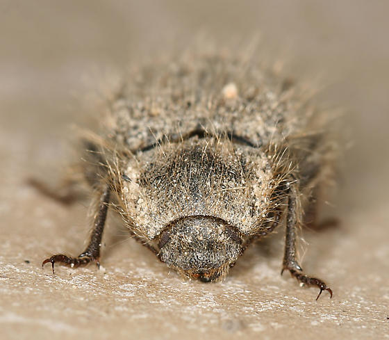 hairy darkling beetle - Stenomorpha hirsuta