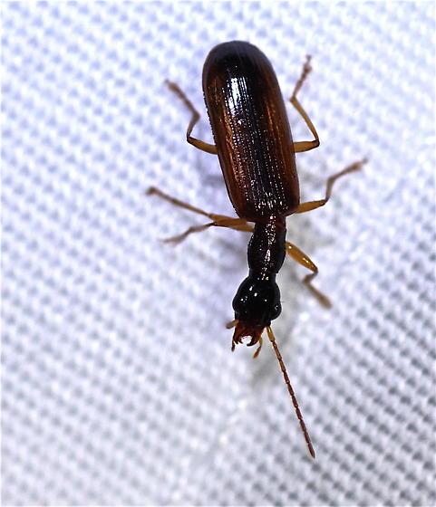 Leptotrachelus dorsalis? - Leptotrachelus dorsalis